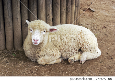 綿羊牧場 74975100