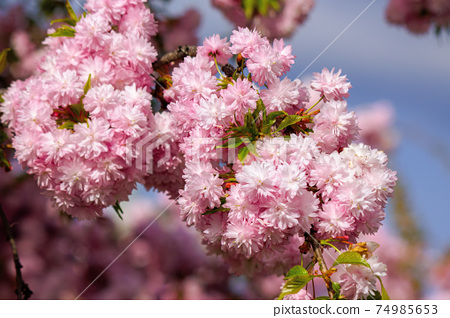 japanese cherry blossom on the branch. beautiful close up nature background in springtime on sunny day 74985653