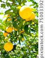햇살 속 휘어있게 여문 노란 감귤류의 과일 75003392