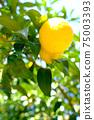 햇살 속에 여무 노란 감귤류의 과일 75003393