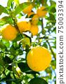 햇살 속 휘어있게 여문 노란 감귤류의 과일 75003394