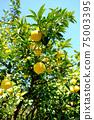 햇살 속 휘어있게 여문 노란 감귤류의 과일 75003395