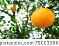 나무에 여물고있는 오렌지 감귤류의 과일 업 75003396