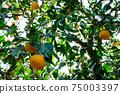 나무에 많이 여물고있는 오렌지 감귤류의 과일 75003397