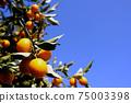 나무에 많이 여물고있는 오렌지 감귤류의 과일과 푸른 하늘 75003398