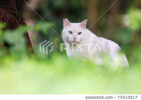 大阪城公園的流浪貓 75010817