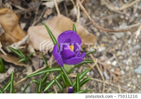 봄소식을 알리는 아름다운 보라빛 샤프란 꽃 75011210