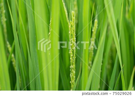 開花的米飯花米耳(八月) 75029026