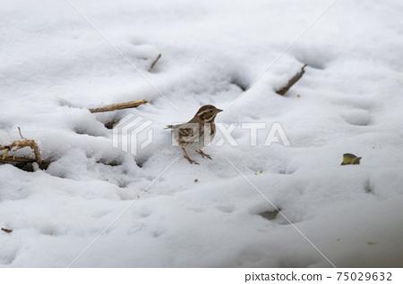 노랑턱멧새,철원군,강원도 75029632