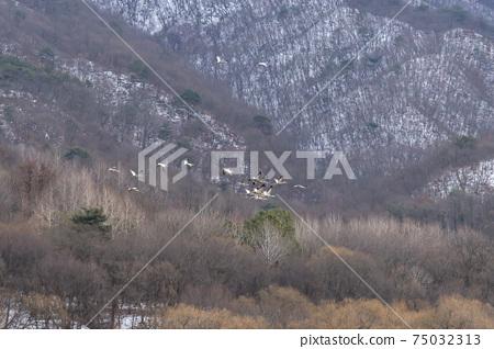 재두루미,철원군,강원도 75032313