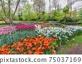 Tulip flower bulb field in garden, spring season in Lisse near Amsterdam Netherlands 75037169