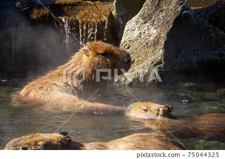 溫泉中的囓齒動物Kapibara-san的照片露天浴池 75044325