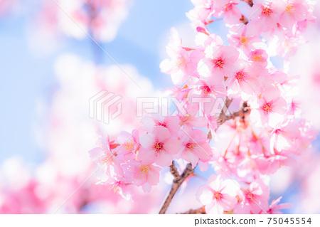 Kawazu cherry tree in full bloom 75045554