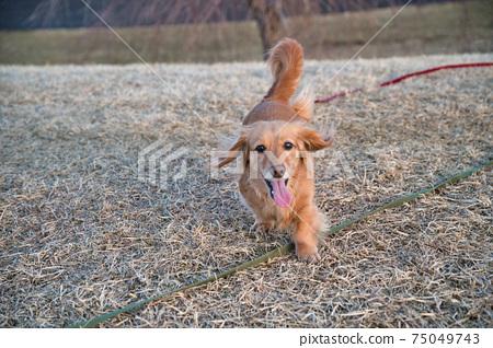 在冬季公園跑步的迷你臘腸狗 75049743
