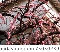 在李子台階上的粉紅李子(白牆,石牆和垂枝李子) 75050239