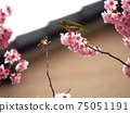 白眼棲息在雪裂的櫻花的樹枝上 75051191