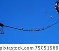 早春的早晨(麻雀聚集在藍天和電線) 75051969