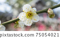 White plum blossoms 75054021