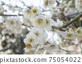 White plum blossoms 75054022
