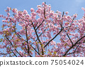 Blue sky and plum blossoms 75054024