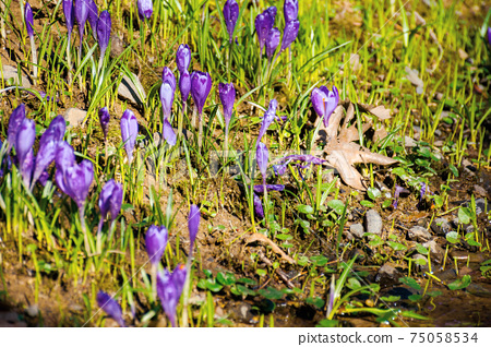purple crocus flower blooming. beautiful nature scenery in the park. sunny weather. close up shot with shallow depth of field 75058534