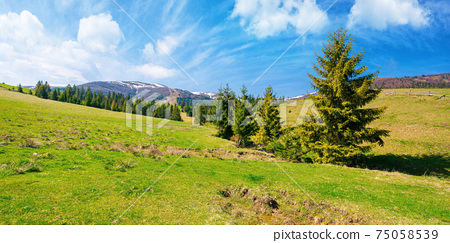 carpathian countryside in springtime. landscape with fir trees on the meadow covered with fresh green grass. snow on the distant mountains. sunny weather with clouds on the sky. borzhava ridge 75058539