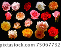 set of roses 75067732