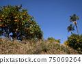 藍藍的天空和變成果樹的果實普通話狩獵普通話農場旅遊農場 75069264