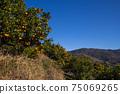 藍藍的天空和變成果樹的果實普通話狩獵普通話農場旅遊農場 75069265