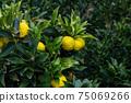 穩步發展的柚子水果觀光農場 75069266