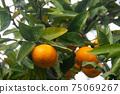 變成橘樹的水果橘子狩獵橘子農場 75069267