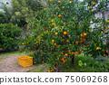 變成橘樹的水果橘子狩獵橘子農場觀光農場 75069268