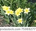 在一個陽光明媚的春日盛開在花園的一角的黃水仙 75069277
