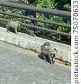 屋久島猴子和父母一起在路上移動 75070633