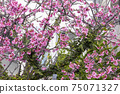 Japanese white-eye and beautifully blooming cherry blossoms 75071327