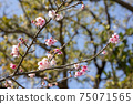 Beautiful cold scarlet cherry blossoms blooming at the tip of a branch 75071565