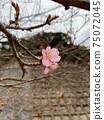 在屋久島的道路上綻放著一朵早綻放的櫻花 75072045
