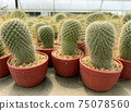 fresh cactus in pot. Cactus plant pattern 75078560