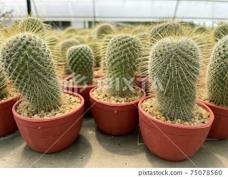 fresh cactus in pot. Cactus plant pattern 75078560