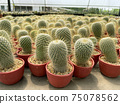 fresh cactus in pot. Cactus plant pattern 75078562