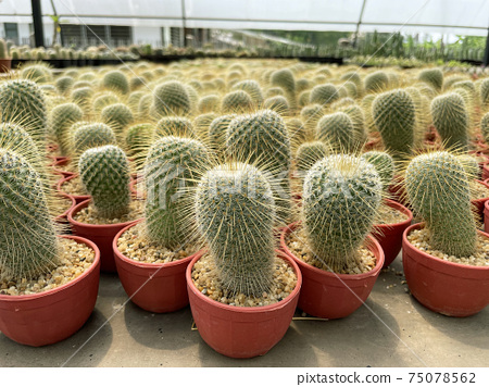 fresh cactus in pot. Cactus plant pattern 75078562