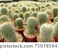 fresh cactus in pot. Cactus plant pattern 75078564