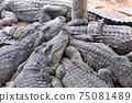 鱷魚群 75081489