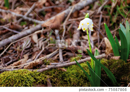 snowflake booming in the forest. beautiful wild flowers close up on a sunny day. early spring messenger concept 75087808