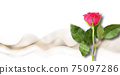 Single rose on white background 75097286