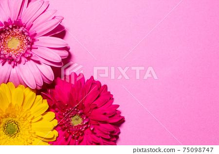 多彩非洲菊花卉背景素材 75098747