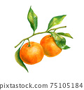 Two tangerines on a branch with leaves 75105184