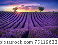 Beautiful lavender field at sunset. 75119633