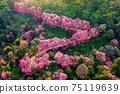 Aerial view of pink cherry blossom trees on mountains. 75119639