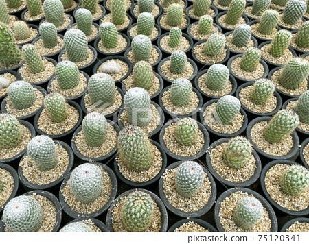 fresh cactus in pot. Cactus plant pattern 75120341